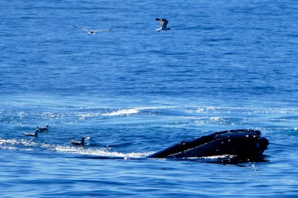 One of MANY whales spotted during our Captain John's Whale Watching cruise