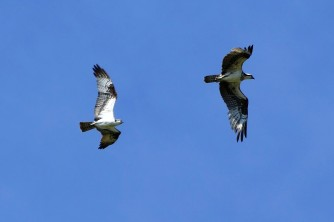 Ospreys in flight over Ellisville Harbor State Park in Plymouth