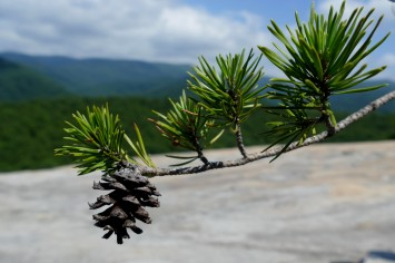 Evergreen cone on Wolf Rock